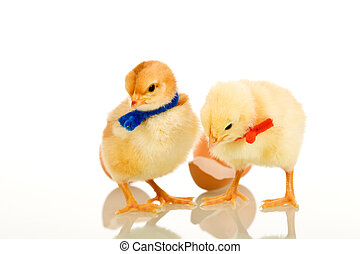 Easter party chickens - isolated