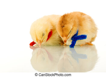 Sleeping baby chickens - isolated with reflection