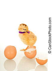 Little fluffy chicken with purple scarf and egg shell