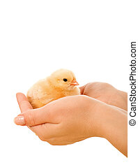 Little fluffy chicken held in woman hands
