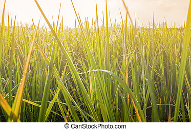 Beautiful of green and yellow grass with color of...