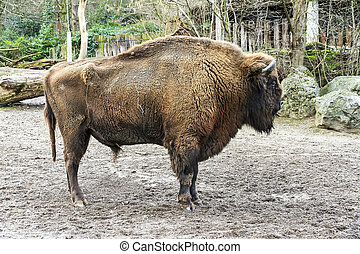 The European bison Bison bonasus, also known as wisent, male...