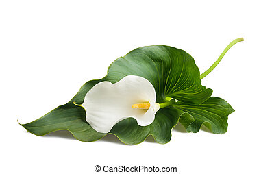 calla lily - White calla lily with leaf isolated on white.