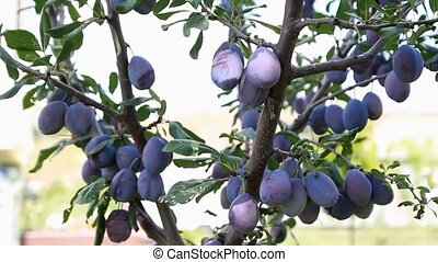 plum fruit hanging on the tree