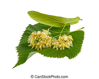linden leaf with flowers isolated on white background