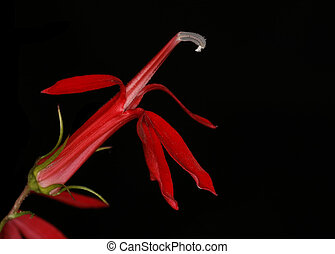 Closeup of Cardinal Flower Lobelia cardinalis - Pinery...