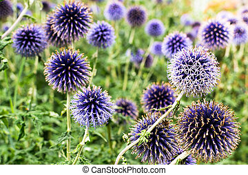 English Globe Thistles - Many English Globe Thistles growing...