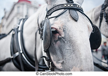 Horses in carriage closeup - White kladruber horse in...