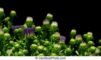 Purple Aster Flower Time-lapse
