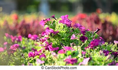 A flower bed with pink petunias - A flower bed with a pink...