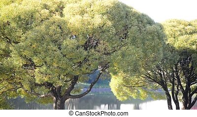 willow tree near the water in summer - willow tree near the...