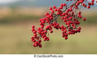 Mature nice red hawthorn berries