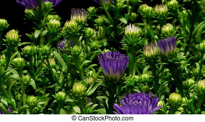 Purple Aster Flower Time-lapse - Time-lapse of purple Aster...