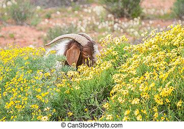Boerbok eats flowers - A boerbok boer goat, a species...