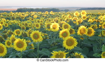 Big field of the blossoming sunflowers , panning