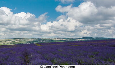 Clouds over a big field of the blossoming lavender,...