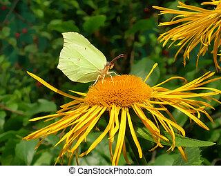 Brimstone butterfly in the garden