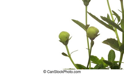 Platycodon Flower Time-lapse - Time-lapse of Platycodon...