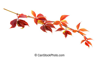 Red autumnal twig of grapes leaves Parthenocissus...