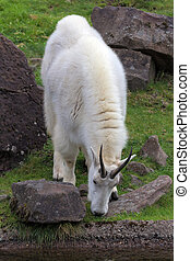 Rocky Mountain Goat Grazing - ROcky Mountain Goat Grazing by...