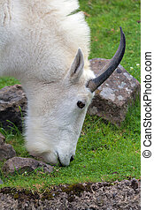 Rocky Mountain Goat Grazing Closeup - ROcky Mountain Goat...