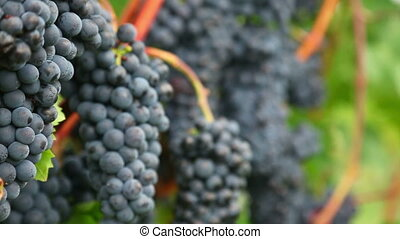Red grapes - Bunches of red wine grapes hang from a lush...