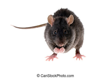 rat washes - The young black rat washes isolated on white