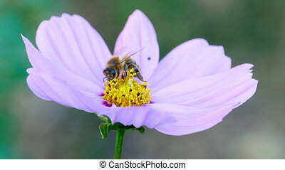 Bee on a cosmos flower - Bee collects nectar on a pink...