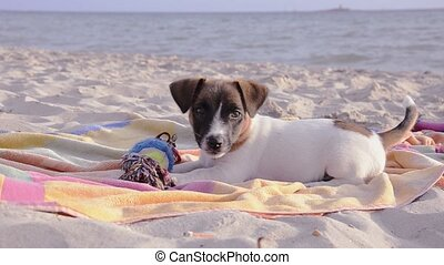 adorable little dog - jack russel on vacation