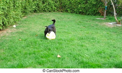 Dog and ball - The black dog plays with a soccerball, slow...