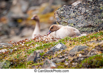 Grater white fronted goose nesting in arctic tundra