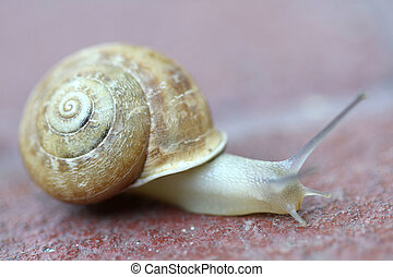 Small snail gliding, very short depth of focus. Latin name:...