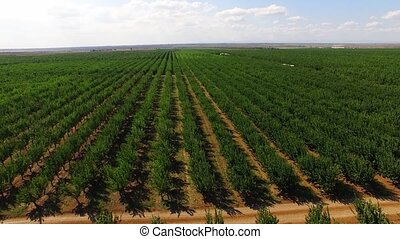 Numerous Rows Of Apple Trees Growing In Large Garden - In...