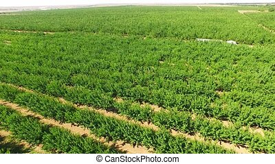 Rows Of Green Apple Trees Growing In Large Orchard - This is...