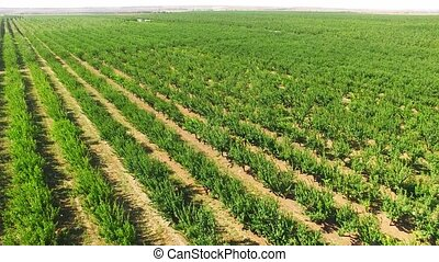 Green Standard Apple Trees Rows In Large Orchard - Aerial...