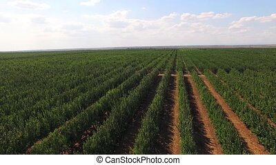Rows Of Green Standard Apple Trees In Large Garden - Aerial...