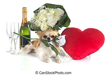 Saint Valentine's Day and chihuahua