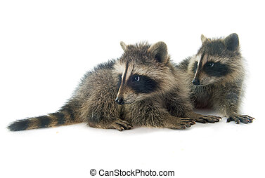 young raccoon in front of white background