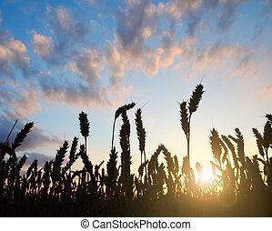 wheat field in sunset - silhouette of a wheat field in...