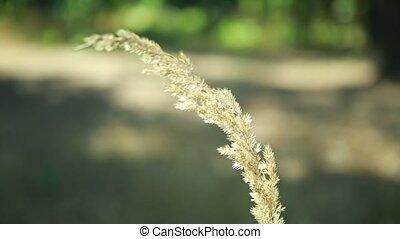 herbal ear sways in the wind