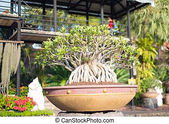 Adenium, obesum, bonsai, albero, in, flowe,