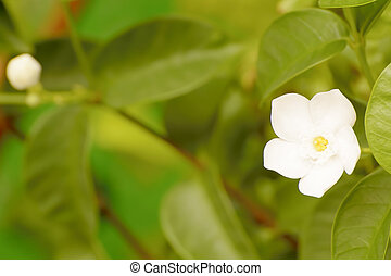 Forest Jasmine: Botanically known as Jasminum abyssinicum,...