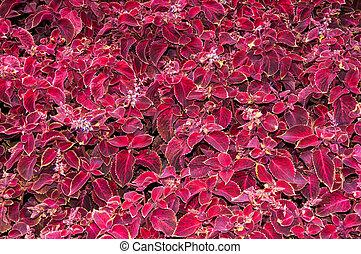 Coleus flower in autumn - Coleus genus of perennial...