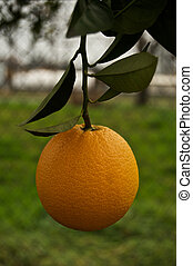 Low Hanging Fruit - This juicy orange is begging to be...