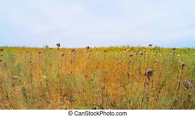 Agricultural Field Of Dry Sunflowers In Grass