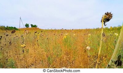Dried Sunflowers In Grass In Agricultural Field