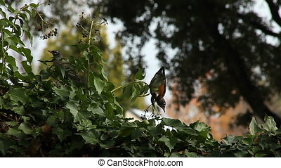 robins in the berries - a robin hangs upside down for...