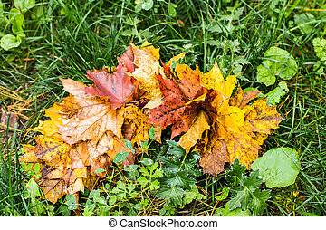 intensely colorful autumn maple leaf