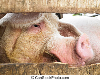 Pig in Enclosure - Closeup of pig looking through a fenced...