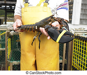 Man Holding Lobster - Man in yellow fishing bib holding...